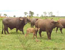 Pure Riverine bull with young female swamp buffalo at Beatrice Hill Farm near Darwin
