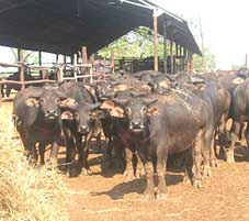 "Young buffalo suitable for the Brunei ""supermarket"" trade, Marrakai Station NT"