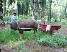 Buffalo carts are used to transport oil palm fruit on plantations growing on flat land