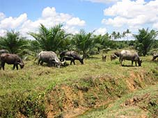 Buffalo being used to control grass growth under oil palm in Sabah, East Malaysia