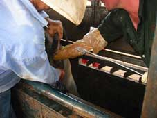 Jeff Little, General Manager, Brunei Meat Export Company (left) and Dr. Tony Hayne spaying buffalo at Opium Creek Station using the Willis technique