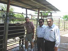 Barry Lemcke DBIRD discussing the working end of one of the Riverine cross bulls presented to the Sabah Government with Datuk Haji Abdul Rahim Ismail, Minister of Agricultural and Food Iindustries, and Awang Sahak Salleh Director of the Ministry of Agriculture and Food Industry
